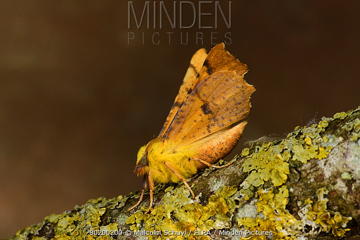 Canary-shouldered Thorn Moth (Ennomos alniaria) adult at rest on lichen covered twig, Monmouth, Wales, August