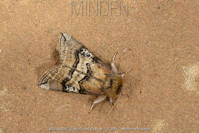 Figure of Eighty Moth (Tethea ocularis octogesimea) adult at rest, Monmouth Wales, June