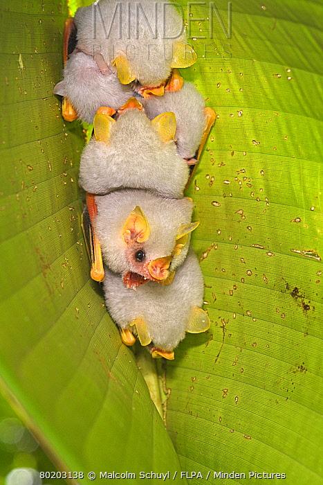 Honduran White Tent Bat (Ectophylla alba) small group resting on underside of leaf, Turrialba, Costa Rica, October