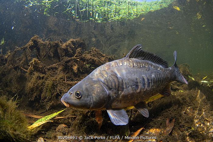 mirror carp, Cyprinus carpio, swimming along the riverbed river calder, yorkshire, september