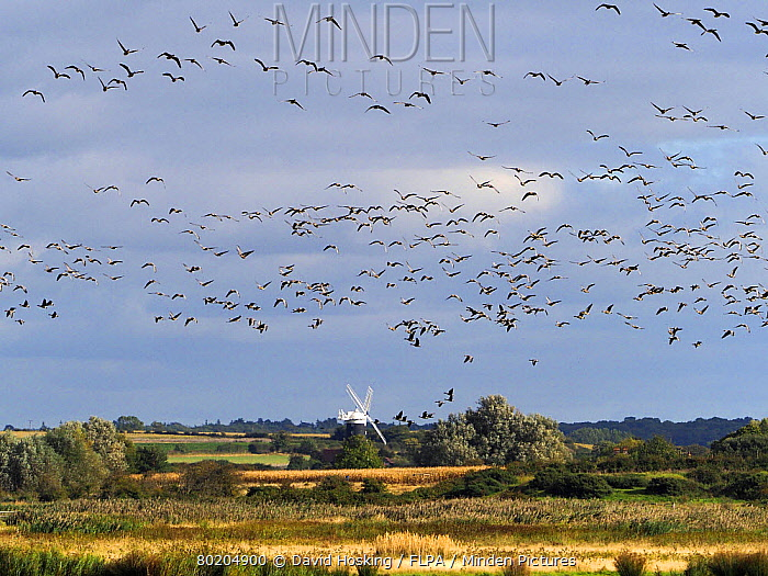Pink footed geese flying over Burnham Overy Staithe windmill  Norfolk
