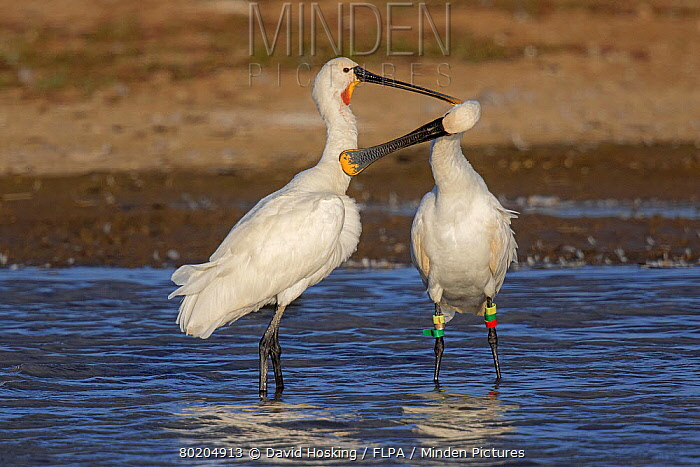 Spoonbill adults mutual preening at Deepdale Marsh Norfolk. Note one bird has colour rings from a project in Holland.