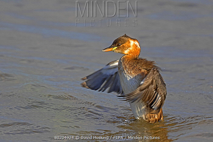 Little Grebe Tachybaptus ruficollis, adult in winter plumage washing