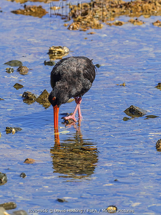 Variable Oystercatcher feeding on the sea shore, New Zealand.