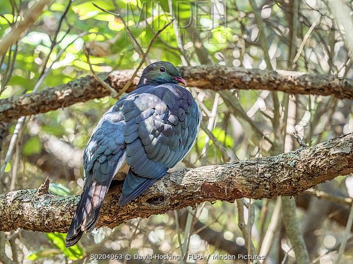 New Zealand Pigeon on Tiritiri Matangi Island,