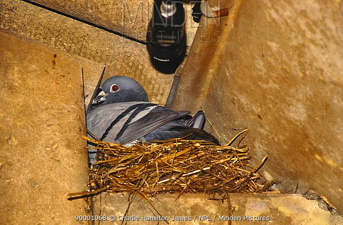 Film camera set up to remotely film Pigeon on nest Bird in the Nest tv programme 1995  -  Charlie Hamilton James/ npl