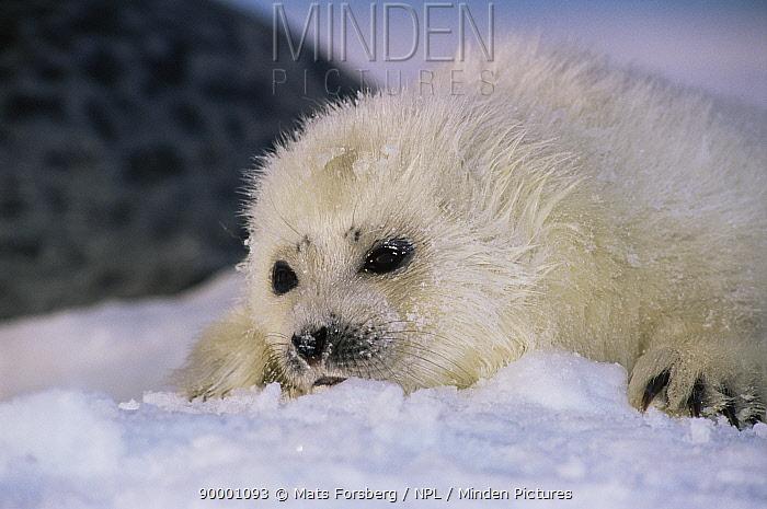 Ringed Seal (Phoca hispida) pup Svalbard, Norway  -  Mats Forsberg/ npl