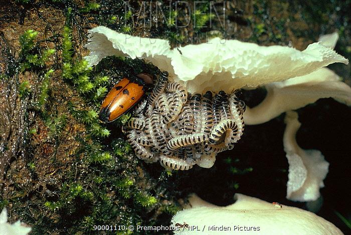 Fungus beetle parent feeding with and guarding its larvae (Pselaphacus giganteus) Trinidad  -  Premaphotos/ npl
