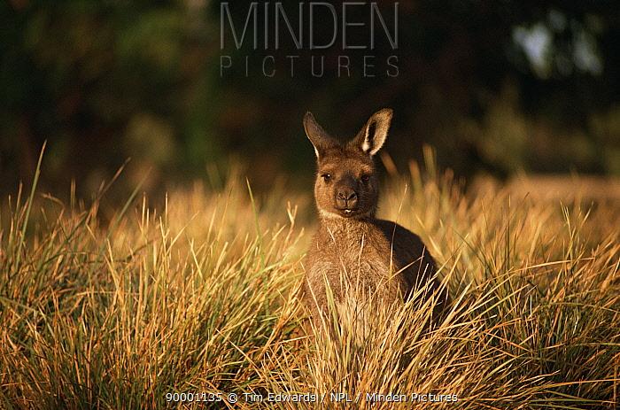 Western Grey Kangaroo (Macropus fuliginosus) feeding in grassland, Flinders Chase National Park, Australia  -  Tim Edwards/ npl