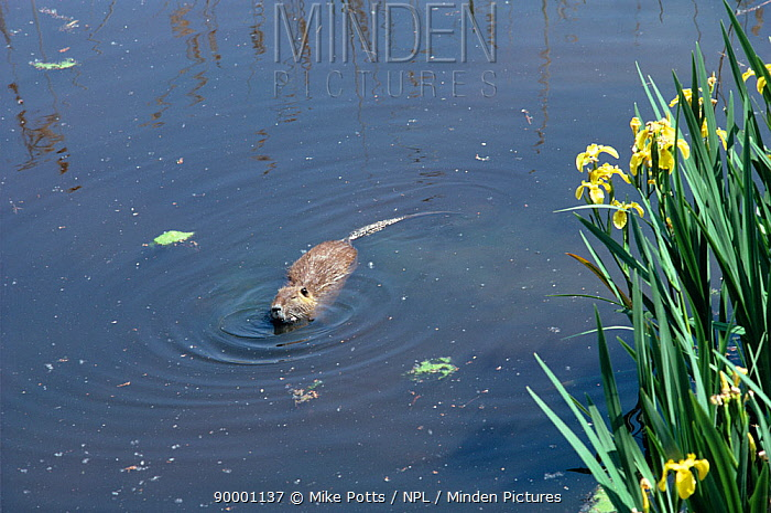Nutria (Myocastor coypus) swimming Norfolk, United Kingdom, Coypu now eradicated from United Kingdom  -  Mike Potts/ npl