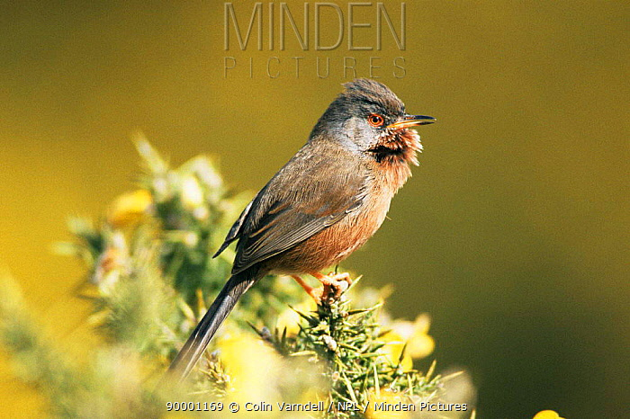 Dartford Warbler (Sylvia undata) singing United Kingdom  -  Colin Varndell/ npl