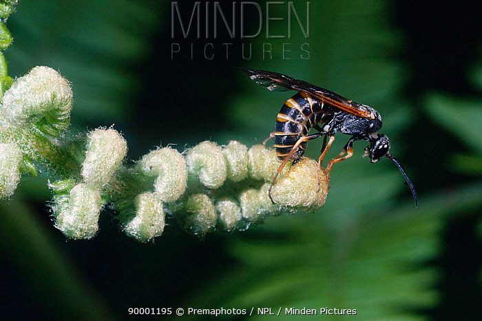Sawfly ovipositing, laying eggs into bracken (Strongylogaster lineata) UK  -  Premaphotos/ npl