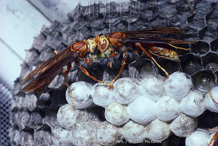 Social wasps divide food bolus at nest (Polistes cavapyta) Argentina, South America  -  Premaphotos/ npl