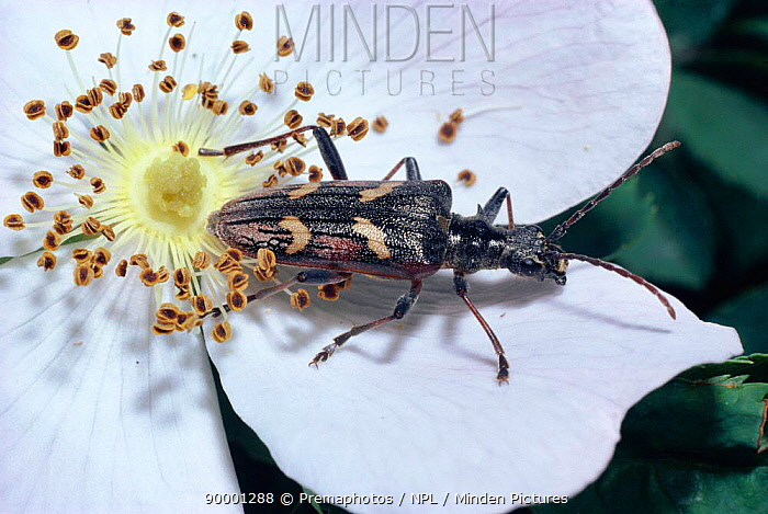 Two banded longhorn beetle (Rhagium bifasciatum) on Dog rose flower (Rosa canina) flower, England  -  Premaphotos/ npl