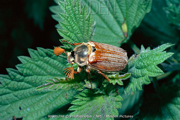 Common Cockchafer (Melolontha melolontha) United Kingdom  -  Premaphotos/ npl