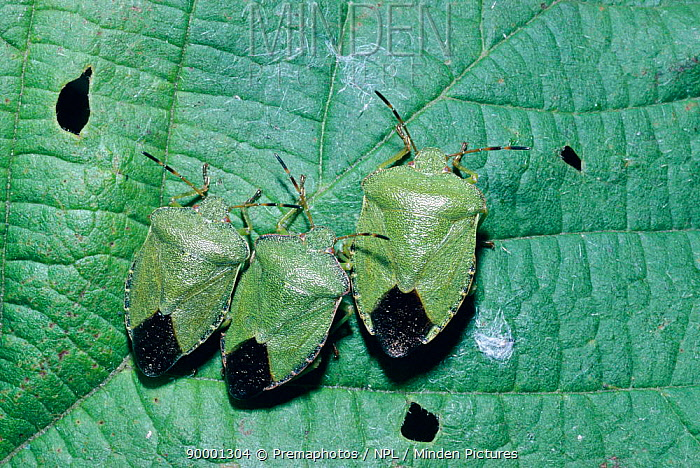 Green Shield Bug (Palomena prasina), United Kingdom  -  Premaphotos/ npl