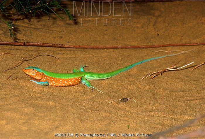 Male Whiptail lizard (Cnemidophorus lemniscatus) Venezuela, South America  -  Premaphotos/ npl