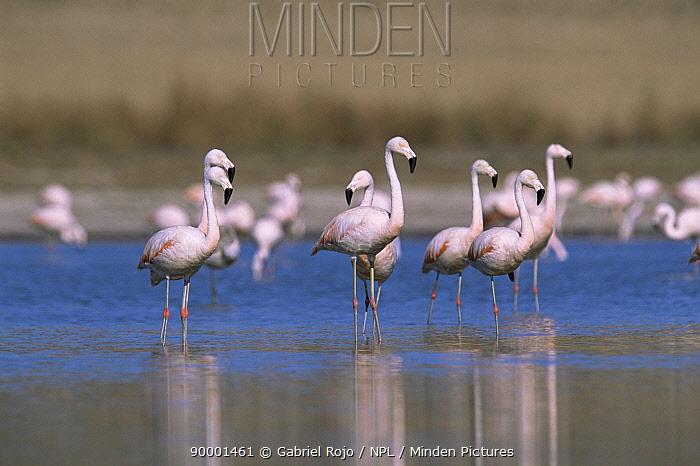 Chilean Flamingo (Phoenicopterus chilensis) wading La Pampa, Argentina  -  Gabriel Rojo/ npl
