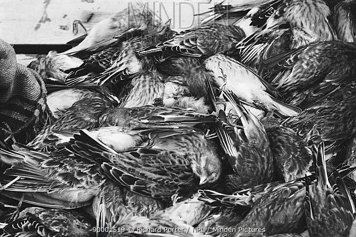 Eurasian Skylark (Alauda arvensis) dead in boxes and finches ready for market, Bordeaux, France  -  Richard Porter/ npl