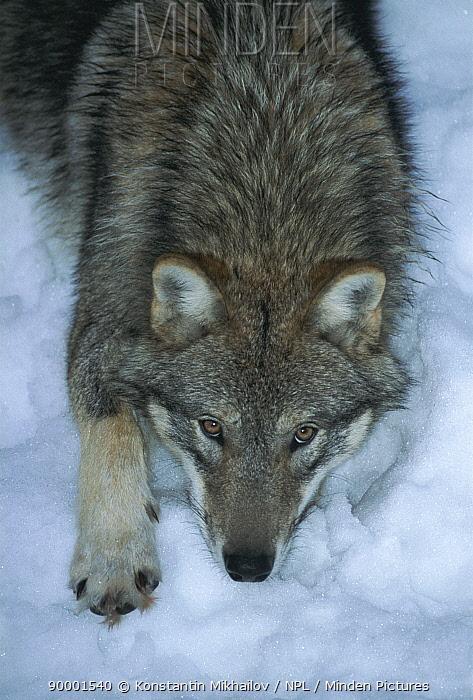 Grey wolf in snow (Canis lupus)  -  Konstantin Mikhailov/ npl