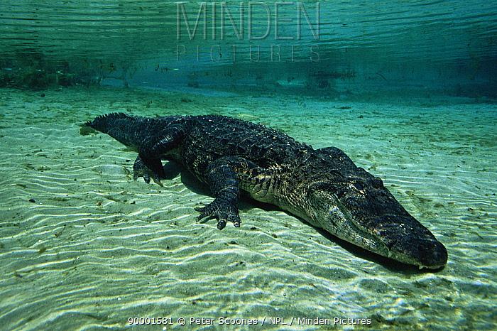 American Alligator (Alligator mississippiensis) Silver Springs, Florida  -  Peter Scoones/ npl