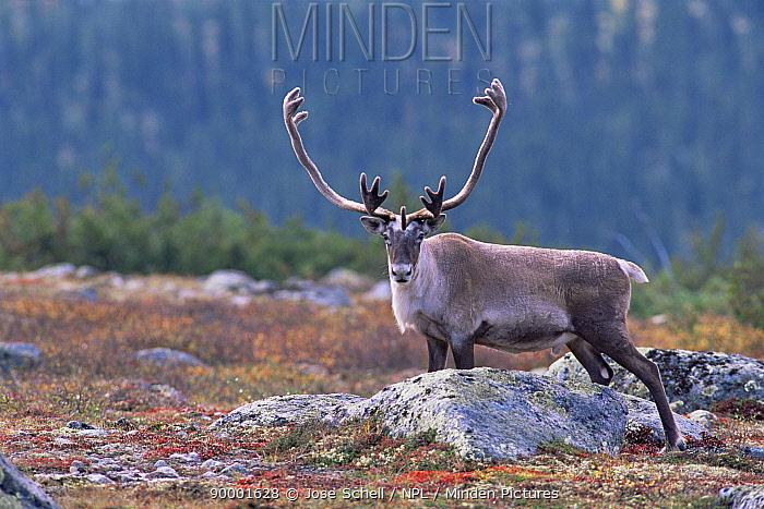 Caribou (Rangifer tarandus) adult male portrait, Northern Quebec, Canada  -  Jose Schell/ npl