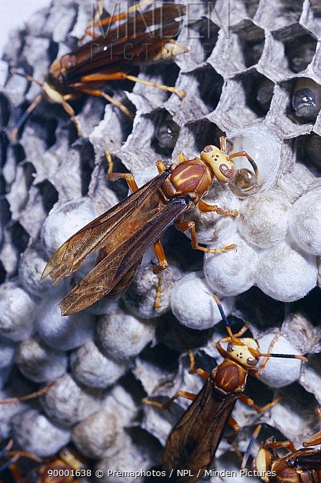 Social wasp inspects pupating larvae (Polistes cavapyta) Argentina  -  Premaphotos/ npl