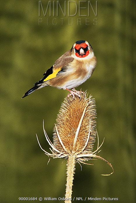 European Goldfinch (Carduelis carduelis) feeding on Teasel seedhead, United Kingdom  -  William Osborn/ npl