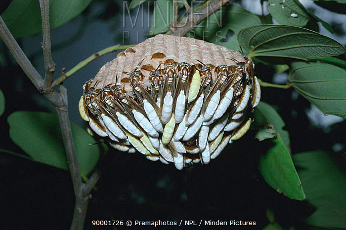 Nocturnal social wasps rest during day at nest in rainforest (Apoica pallens) Brazil  -  Premaphotos/ npl