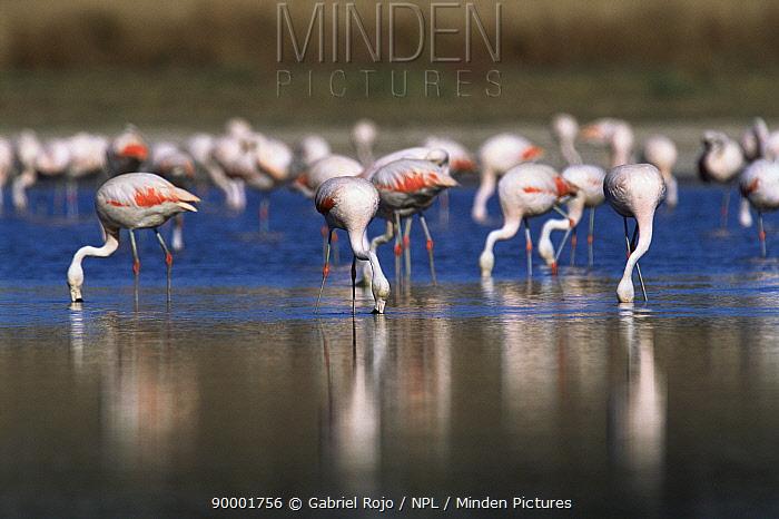 Chilean Flamingo (Phoenicopterus chilensis) feeding La Pampa, Argentina  -  Gabriel Rojo/ npl