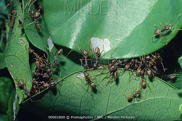 Weaver Ant (Oecophylla longinoda) attaching leaf edges to make nest, South Africa  -  Premaphotos/ npl
