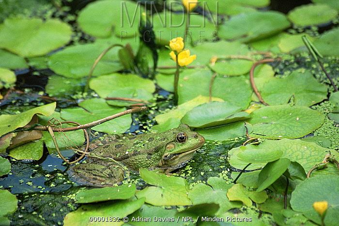 Marsh Frog (Rana ridibunda) in pond with water lilies, United Kingdom  -  Adrian Davies/ npl