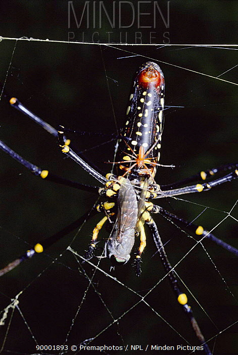 Giant Wood Spider male mating with huge female (Nephilia maculata) while she is eating a horsefly Rainforest, Sulawesi  -  Premaphotos/ npl