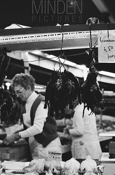 Song Thrush (Turdus philomelos) dead for sale in Bordeaux market, France  -  Richard Porter/ npl