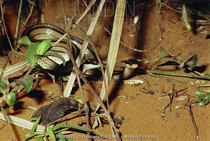 Female snakes predating ants' nest (Dromicodryas quadrilineatus) Madagascar  -  Premaphotos/ npl