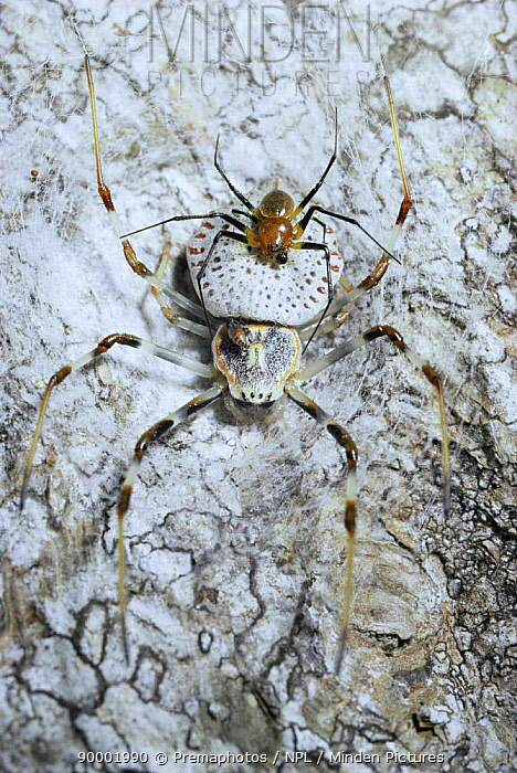 Ornate orb weaver spider (top) guarding larger female (Herennia ornatissima) from rivals Sumatra  -  Premaphotos/ npl