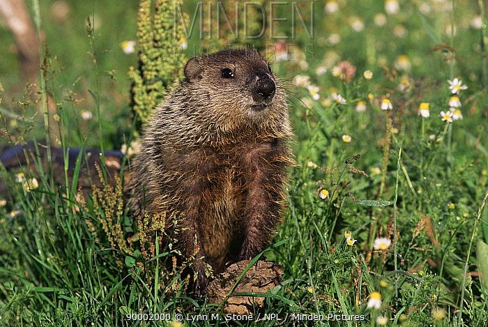 Woodchuck (Marmota monax) in flower meadow Minnesota  -  Lynn M. Stone/ npl