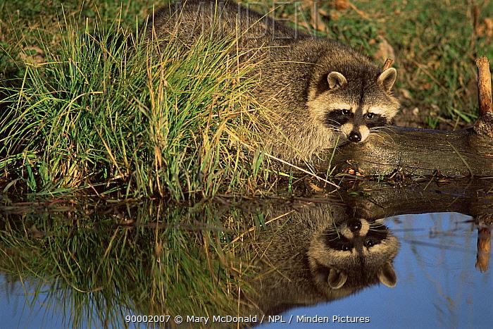 Raccoon (Procyon lotor) by river North America  -  Mary Mcdonald/ npl