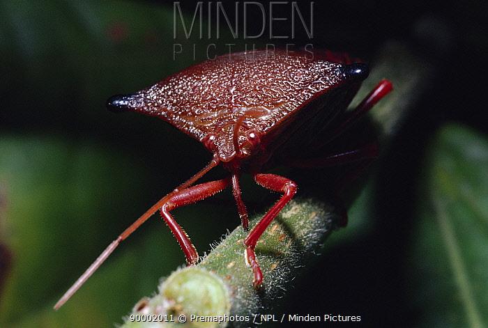 Shieldbug sucking sap from plant stem (Peromatus sp) tropical rainforest, Brazil  -  Premaphotos/ npl
