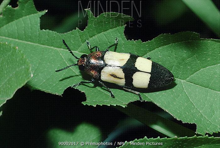 Jewel beetle (Agelia peteli) mimics Oil beetle (Mylabris oculata) South Africa  -  Premaphotos/ npl
