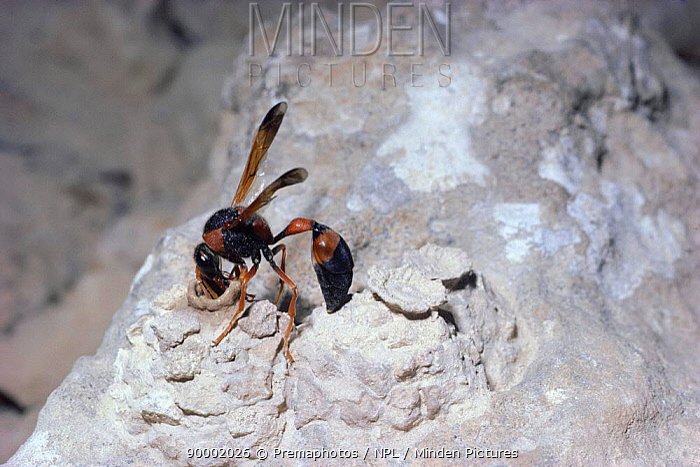 Potter wasp female building third mud nest in desert Israel (Delta dimidiatipenne)  -  Premaphotos/ npl