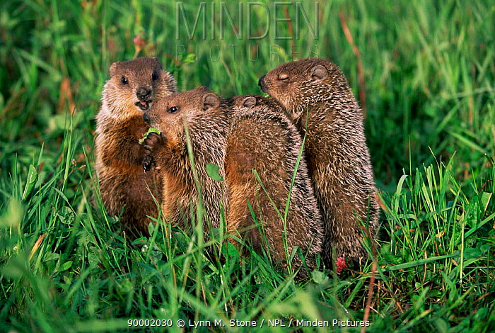 Woodchuck (Marmota monax) family in grass Minnesota  -  Lynn M. Stone/ npl