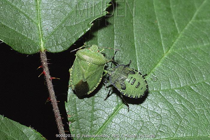 Green Shield Bug (Palomena prasina) adult and nymph, United Kingdom  -  Premaphotos/ npl
