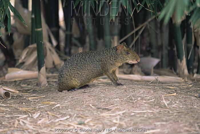 Azaras Agouti (Dasyprocta azarae) captive, Argentina  -  Gabriel Rojo/ npl