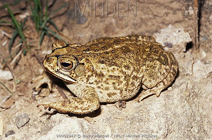 Toad (Bufo mazatlanensis) Sonora, Mexico  -  Barry Mansell/ npl