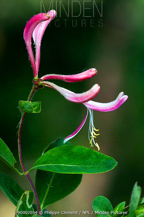 Honeysuckle blossom (Lonicera periclymenum) La Brenne, France  -  Philippe Clement/ npl