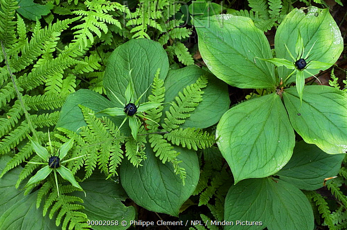 Herb Paris (Paris quadrifolia) with berries among ferns in woodland, Belgium  -  Philippe Clement/ npl