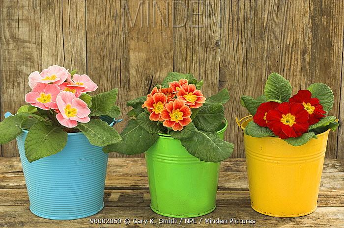 Garden Primula plants (Primula polyanthus) in colourful buckets, rustic garden shelf setting, UK  -  Gary K. Smith/ npl