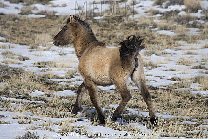 Mustang (Equus caballus), grulla filly lifting tail whilst trotting Pryor Mountains, Montana  -  Carol Walker/ npl