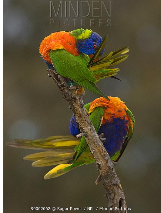Rainbow Lorikeet (Trichoglossus haematodus) pair preening, Victoria, Australia  -  Roger Powell/ npl